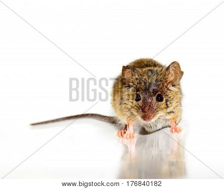 house mouse also called field mouse (Mus musculus) on white background facing camera.