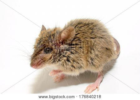 house mouse (Mus musculus) on white background Close-up lookting at camera