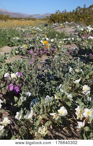 Huge wildflower bloom in the Anza Borrego Desert, San Diego County, California after extensive winter rains.