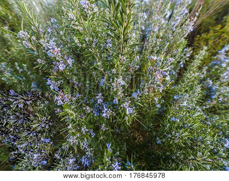 Rosemary plant (Rosmarinus officinalis) blossoming with fragrant blue flowers