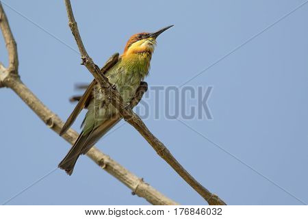 Image of bird (Green Bee-eater) on the branch on nature background. Wild Animals.