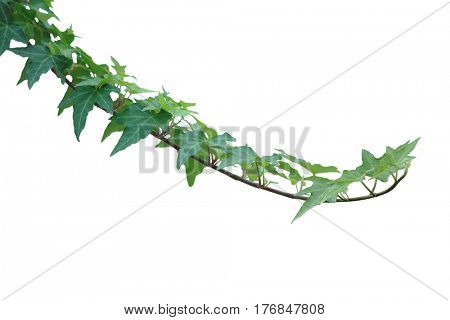 Ivy Leaf on vine isolated over white background