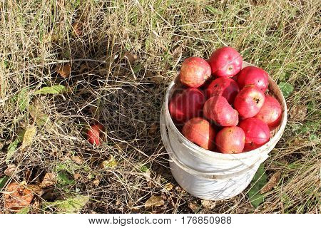 Picture of a white forgotten old bucket of apples on a dry grass with autumn leaves