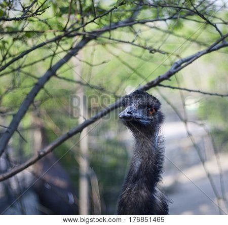 gray young ostrich hides among the branches of a tree