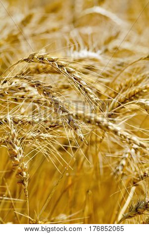 Ripe grain ears of wheat and rye on the background of a field