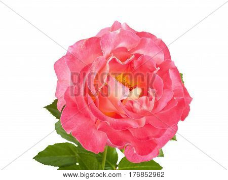 Beautiful Pink Roses For Design Isolated