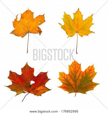Set The Autumn Maple Branch With Leaves Isolated