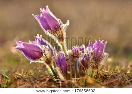 Spring Flowers. Beautifully Blossoming Pasque Flower And Sun With A Natural Colored Background. (pul