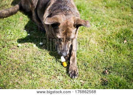 Dog with globuli bottle, animals, doctor, allergy