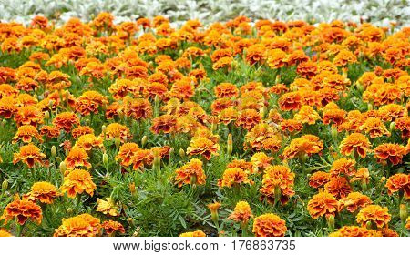 Flowerbed with orange flowers can be used as background.