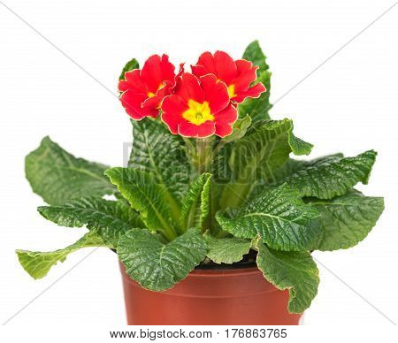 Bright blossoming primrose in the flowerpot isolated over white background
