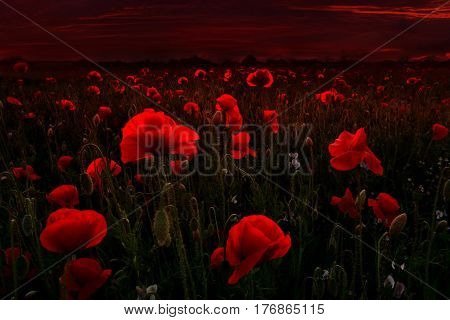 Beautiful field of red poppies in the dark sunset light.