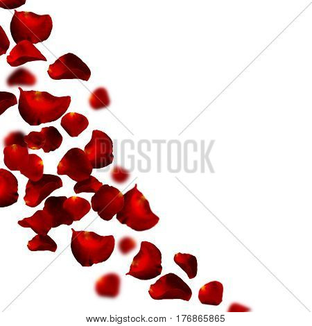 Red rose falling petals against white background.