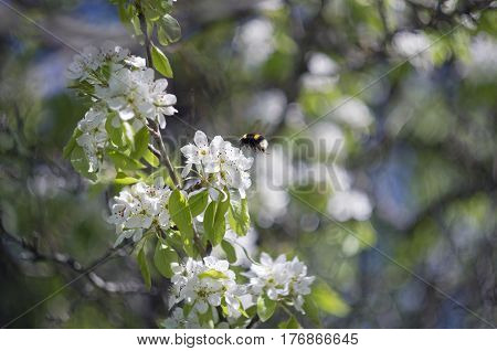 The bumblebee collects pollen from the blossomed flowers of an apple-tree