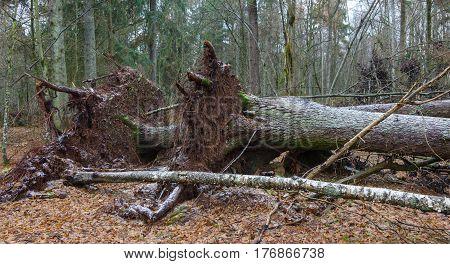 Two wind broken old Norwegian spruce tree lying side by side, Bialowieza Forest, Poland, Europe