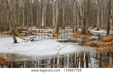 Spring landscape of old deciduous stand with partly melting ice and broken trees, Bialowieza Forest, Poland, Europe