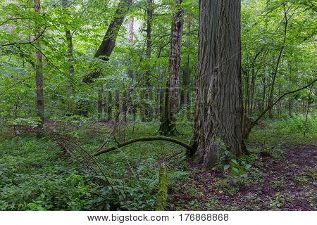 Natural deciduous stand of Bialowieza Forest with old oak tree and hornbeam around, Bialowieza Forest, Poland, Europe