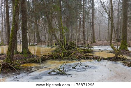 Moss wrapped tree debris over melting snow in early spring, Bialowieza Forest, Poland, Europe