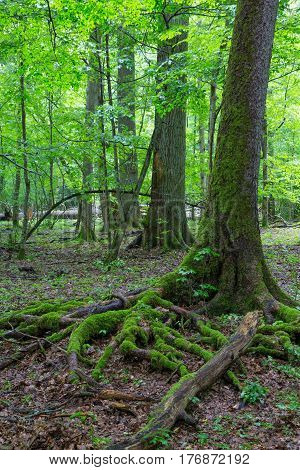 Partly broken spruce tree moss wrapped with root visible and old deciduous stand in background, Bialowieza Forest, Poland, Europe