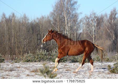 Beautiful Chestnut Horse Galloping Free