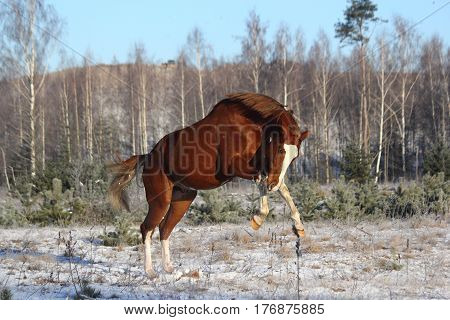 Chestnut Horse Galloping Free In Winter