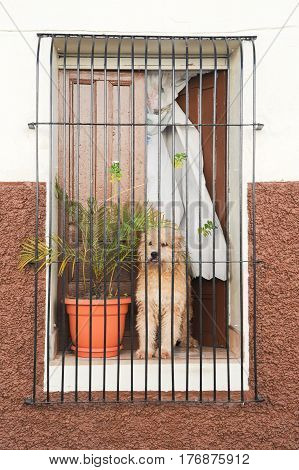 Dog Waiting For His Master At The Window