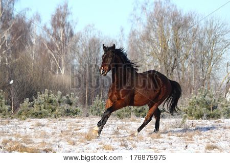 Brown horse galloping free in winter at the field
