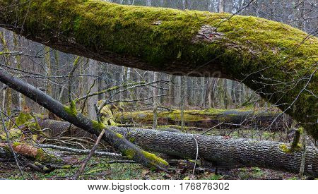 Monumental ash trees broken lying in deciduous stand, Bialowieza Forest, Poland, Europe