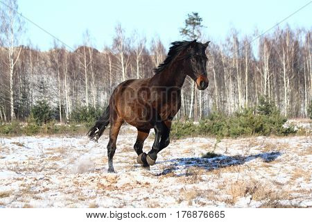 Black beautiful holsteiner horse galloping free at the field
