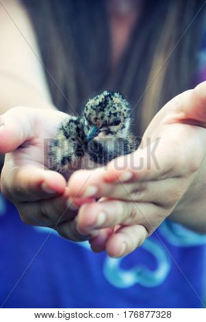 Enviroment protection. Chick gulls in the hands of women.