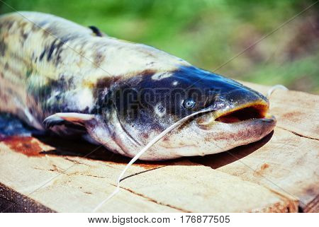 big catfish for cooking on wood block