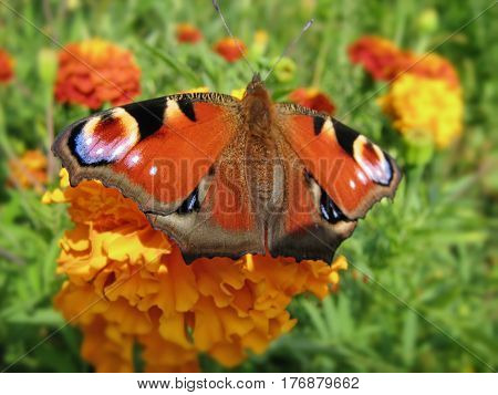 Peacock butterfly European Aglais io drinking nectar on a marigold flower