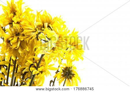 The wither yellow chrysanthemum flower on the white background