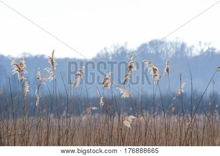 REEDS ON SWAMP - wildlife landscape in early spring