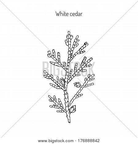 White cedar, thuja occidentalis. Hand drawn botanical vector illustration