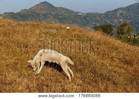 Dog gnawing bone on grass, Himalayas, Nepal