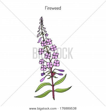 Chamerion angustifolium,  fireweed, great willow-herb, rosebay willow-herb. Hand drawn botanical vector illustration