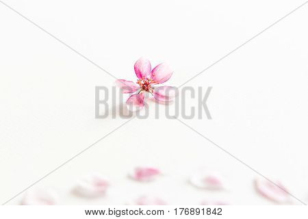 close up of light and soft petals of sakura on white background with empty spase for the text. Concept of love. feeling of spring.