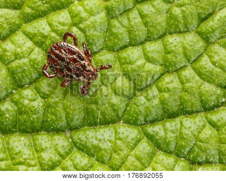 Macro Of Tick On Leaf