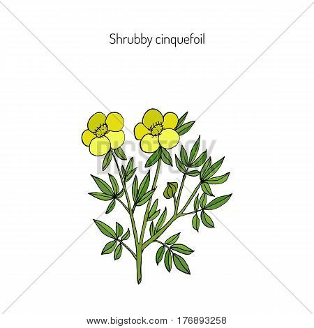 Shrubby cinquefoil, golden hardhack, bush cinquefoil, shrubby five-finger, tundra rose, or widdy. Hand drawn botanical vector illustration