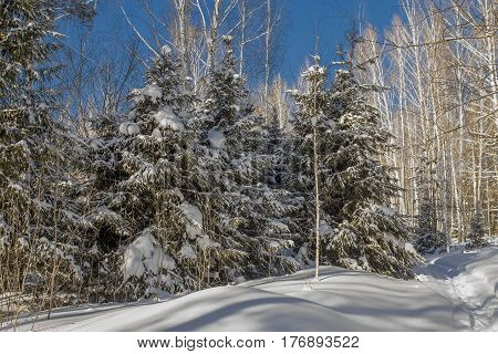Winter Forest In Sunny Day And Blue Sky