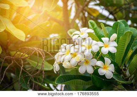 Plumeria Vintage Tone.flowers.Pink plumeria on the plumeria tree, frangipani tropical flowers.White plumeria.Plumeria flowers.Vintage Filter Effect.White plumeria on the plumeria tree.