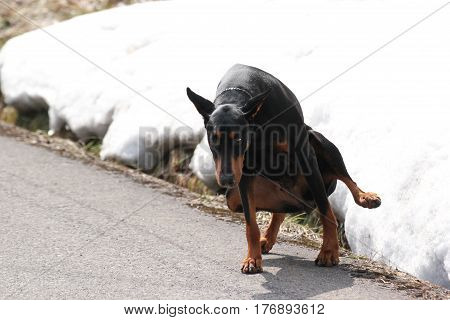 The Doberman pinscher pooping on the ground.