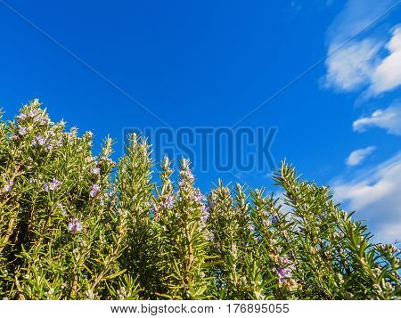 Rosemary plant (Rosmarinus officinalis) blossoming with fragrant blue flowers with sky as background
