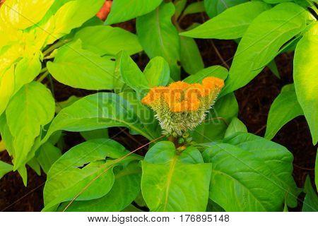 flower plumed cockscomb yellow or Celosia argentea beautiful in the garden