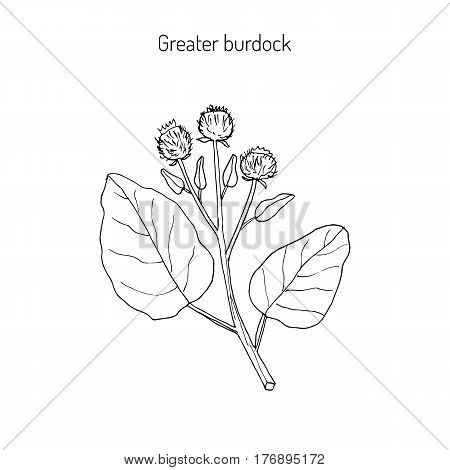 Burdock, Arctium lappa, commonly called greater burdock, gobo, edible burdock, lappa, beggar s buttons, thorny burr, or happy major. Hand drawn botanical vector illustration