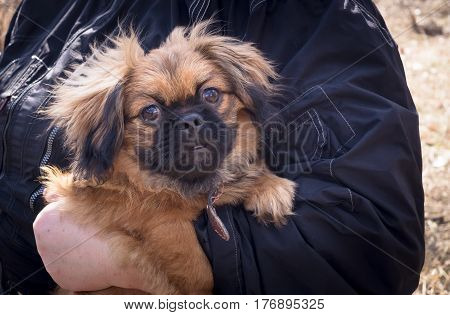 Puppy Pekingese in the hands of a human.