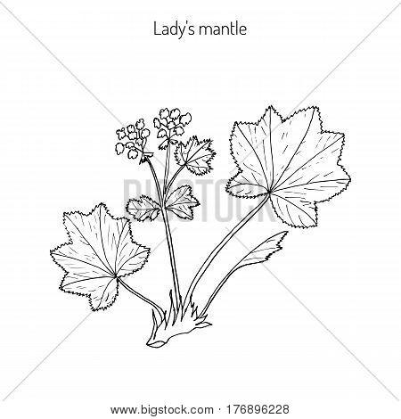 Alchemilla vulgaris, common lady mantle. Medicinal herb. Hand drawn botanical vector illustration