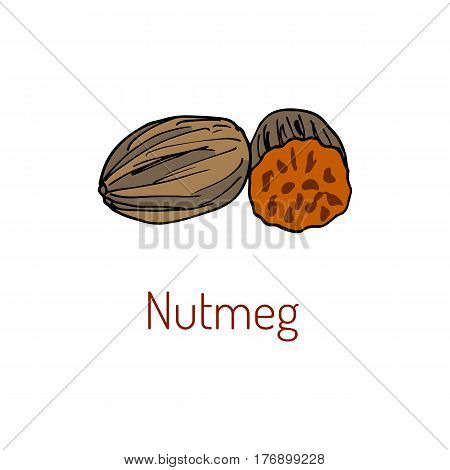 Kitchen spices. Nutmeg. Hand drawn vector illustration. nuts collection