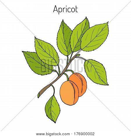 Apricot, Prunus armeniaca Armenian plum , or ansu apricot, Siberian apricot, Tibetan apricot. Hand drawn botanical vector illustration